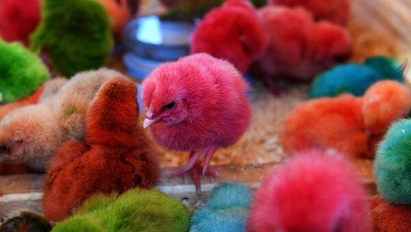 Крашеные цыплята - Sputnik Узбекистан