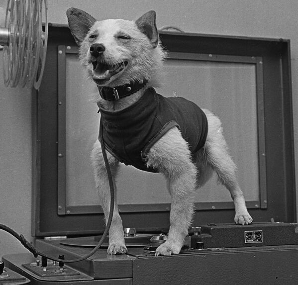 Собака-космонавт по кличке Белка - Sputnik Узбекистан