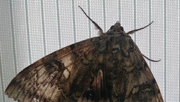 В Чернобыле обнаружили бабочку размером с птицу - Sputnik Ўзбекистон