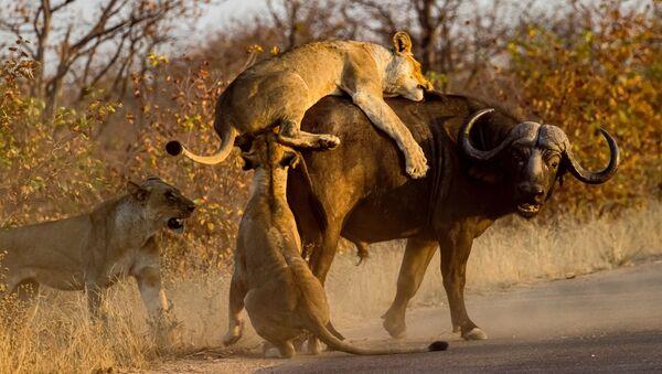 Львы нападают на буйвола. Иллюстративное фото - Sputnik Ўзбекистон