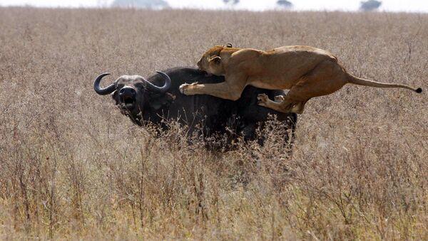Львица атакует буйвола - Sputnik Ўзбекистон