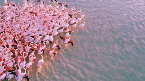 По пути на юг: сотни розовых фламинго остановились на озере в Казахстане - Sputnik Узбекистан