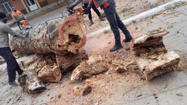 Незаконная вырубка многолетней чинары в Ташкенте - Sputnik Узбекистан