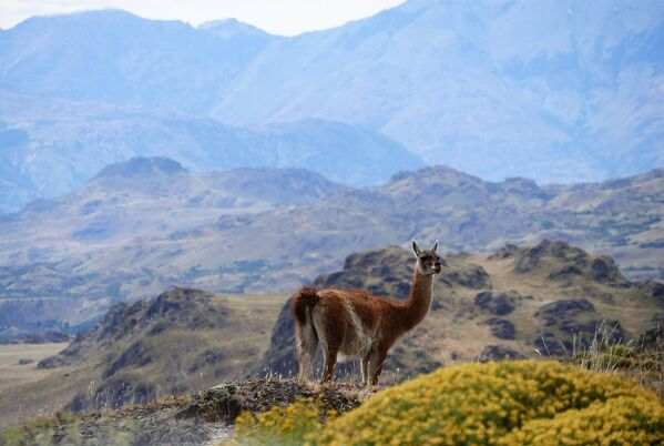 Alpaka v gorax Patagonii v Chili - obladatel zvaniya World's Leading Green Destination 2020  - Sputnik Oʻzbekiston