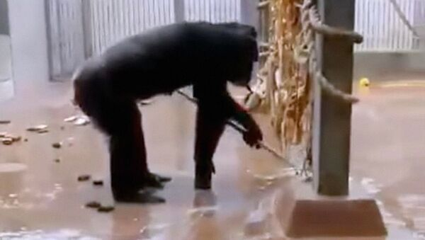 Шимпанзе подметает вольер - Sputnik Ўзбекистон