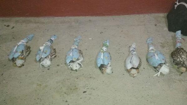 Контрабанда краснокнижных соколов - Sputnik Узбекистан