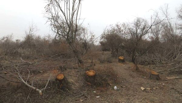 Чирчикский тугайный лес оказался под угрозой вырубки - экологи бьют тревогу - Sputnik Узбекистан