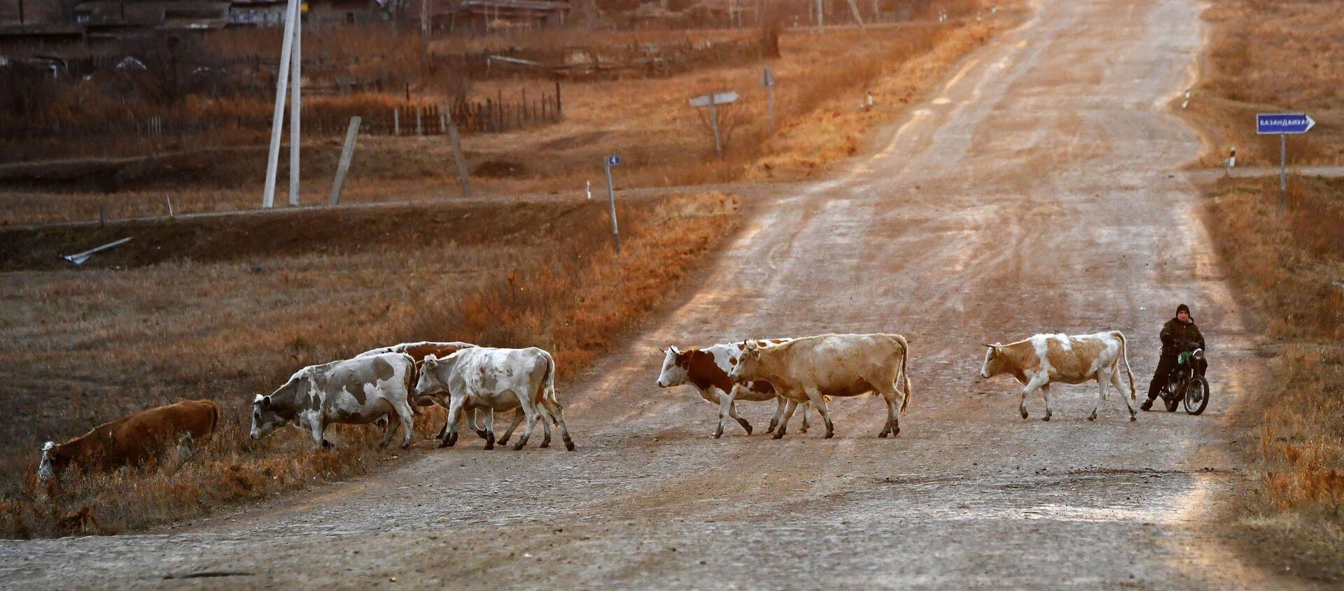 Пастух на мотоцикле и коровы возвращаются со степного пастбищ около деревни Сарагаш в Республике Хакасия - Sputnik Узбекистан, 1920, 26.02.2021