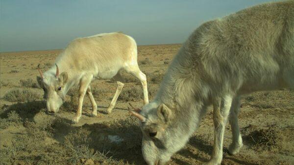 Краснокнижные сайгаки вновь попали в объектив фотоловушки в Узбекистане - Sputnik Узбекистан
