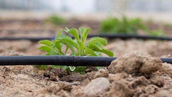 Инновационный проект: как выращивают техническую коноплю в Сырдарье - Sputnik Узбекистан