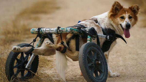 Собака-инвалид перед прогулкой в фонде The Man That Rescues Dogs Foundation в Чонбури, Таиланд  - Sputnik Узбекистан