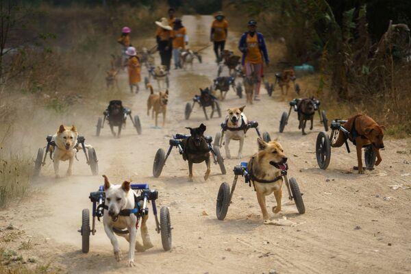 Обычно, когда мы видим собак-инвалидов, то нам становится их очень жалко. Однако вот сами псы себя не считают ограниченными.А вот так живут собаки с ограниченными возможностями в фонде Чонбури в Таиланде. - Sputnik Узбекистан