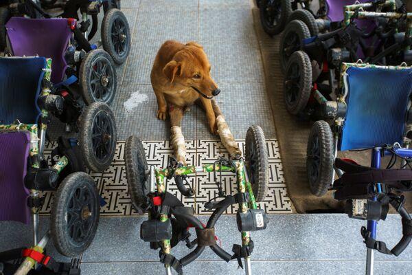 Если он не опускает руки, готов бороться и пройти до конца вместе с собакой трудный путь реабилитации, то у питомца есть шанс прожить длинную полноценную жизнь. - Sputnik Узбекистан