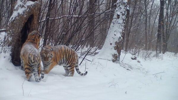 Президентские тигры в лесах ЕАО - Sputnik Ўзбекистон