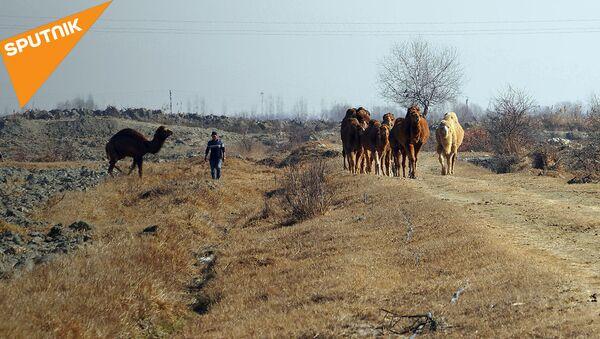 Караван мечты и верблюдица Принцесса: как в Риштане растят кораблей пустыни  - Sputnik Узбекистан
