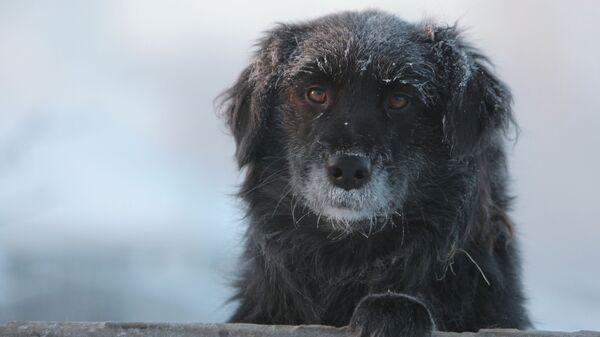 Дворовая собака в городе Тара Омской области в сильный мороз - Sputnik Узбекистан
