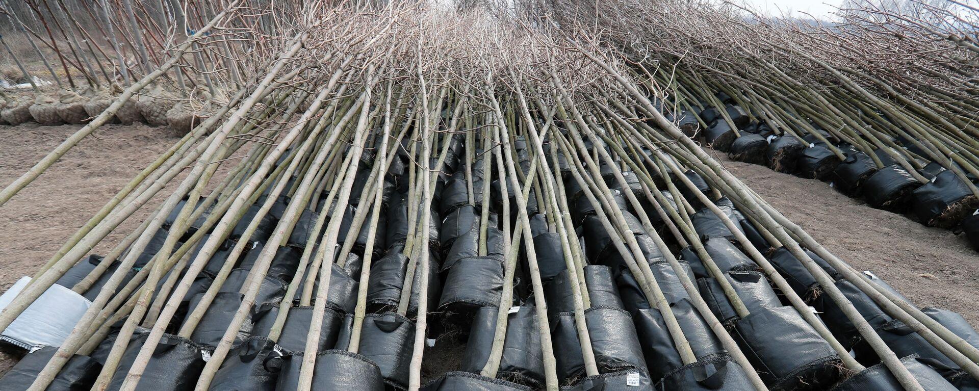 Саженцы деревьев для озеленения - Sputnik Узбекистан, 1920, 26.05.2021
