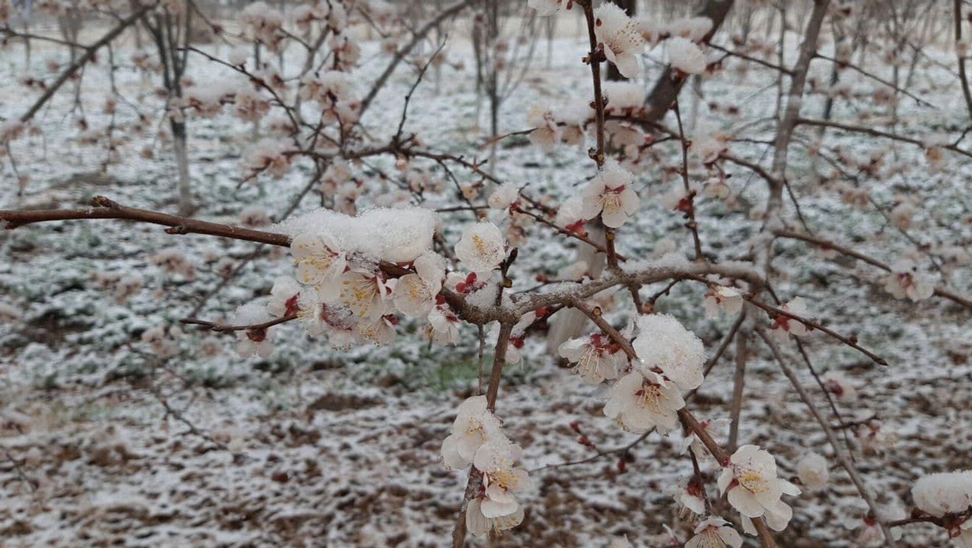Расцветший абрикос под снегом - Sputnik Узбекистан, 1920, 24.02.2021