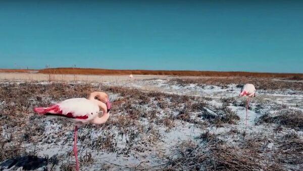 Фламинго в снегу на озере Караколь - Sputnik Узбекистан