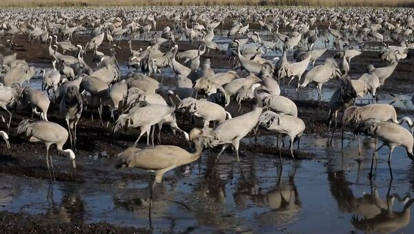 Ежегодная миграция журавлей из Африки в Европу - кадры из долины Хула - Sputnik Ўзбекистон