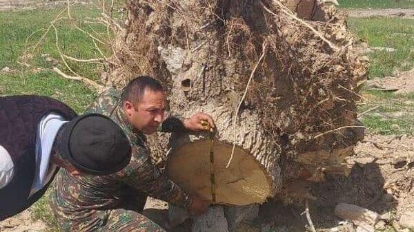 Срубленные во время моратория деревья в Карши  - Sputnik Узбекистан