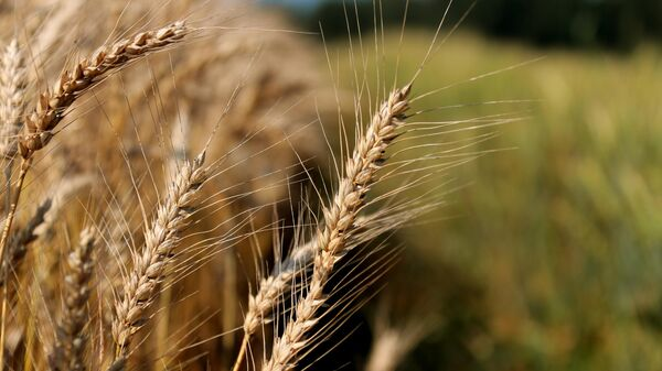 Пшеница - Sputnik Узбекистан