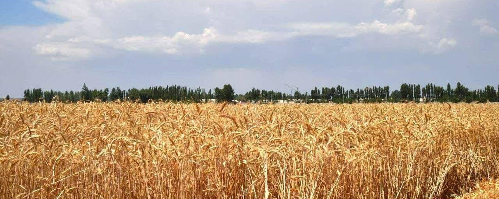 Пшеничное поле - Sputnik Узбекистан, 1920, 17.06.2021