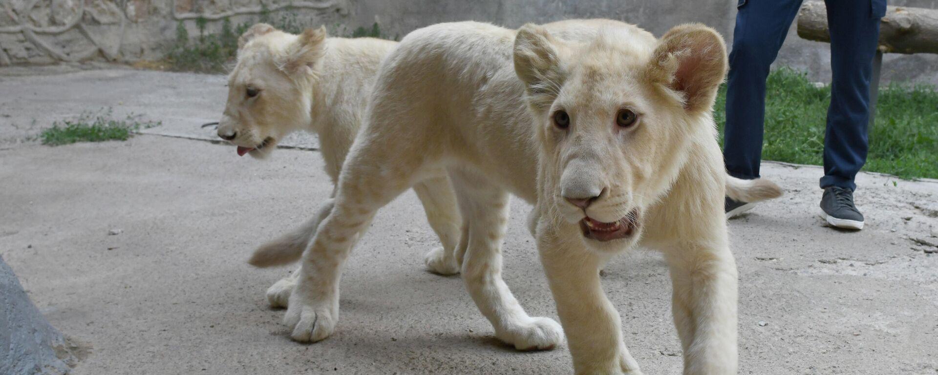 Южноафриканские львы в Ташкентском зоопарке - Sputnik Узбекистан, 1920, 17.06.2021