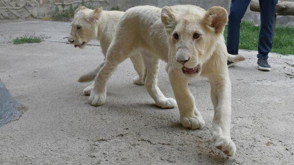 Южноафриканские львы в Ташкентском зоопарке - Sputnik Узбекистан