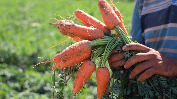 Урожай раннеспелой моркови в Узбекистане - Sputnik Узбекистан