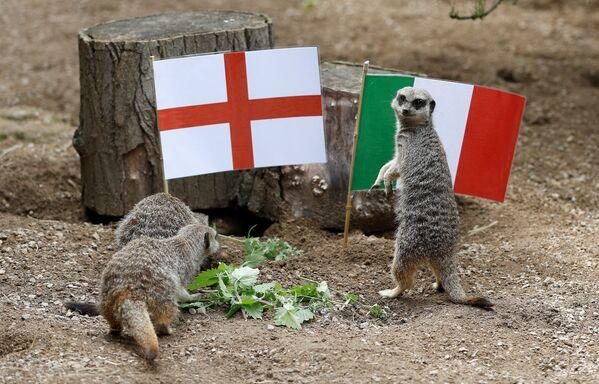 В лондонском зоопарке ZSL Сурикаты играют вместе с флагами Англии и Италии перед финалом Евро-2020 - Sputnik Узбекистан