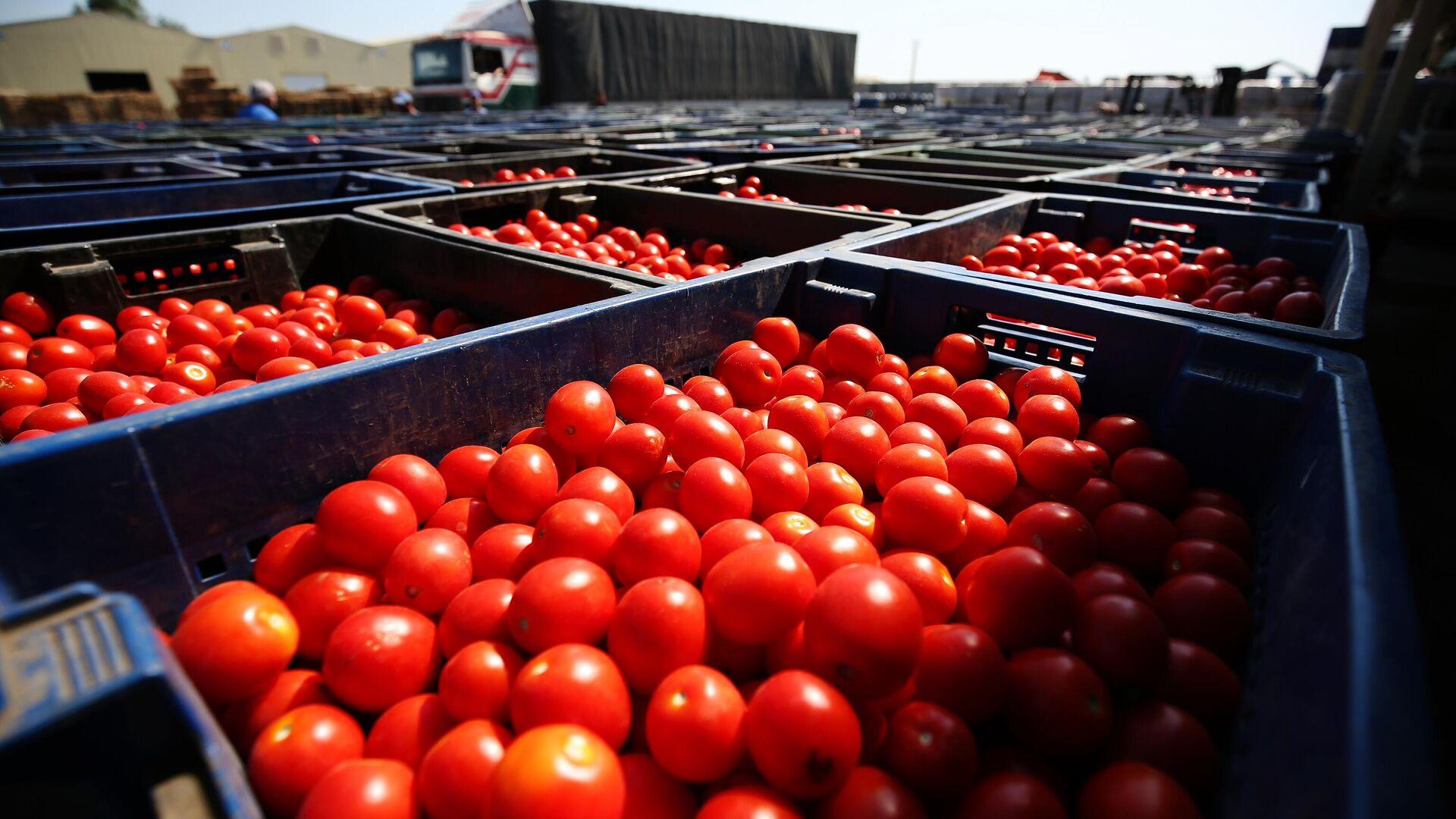 Сбор урожая помидоров в овощеводческом хозяйстве  - Sputnik Узбекистан, 1920, 21.07.2021