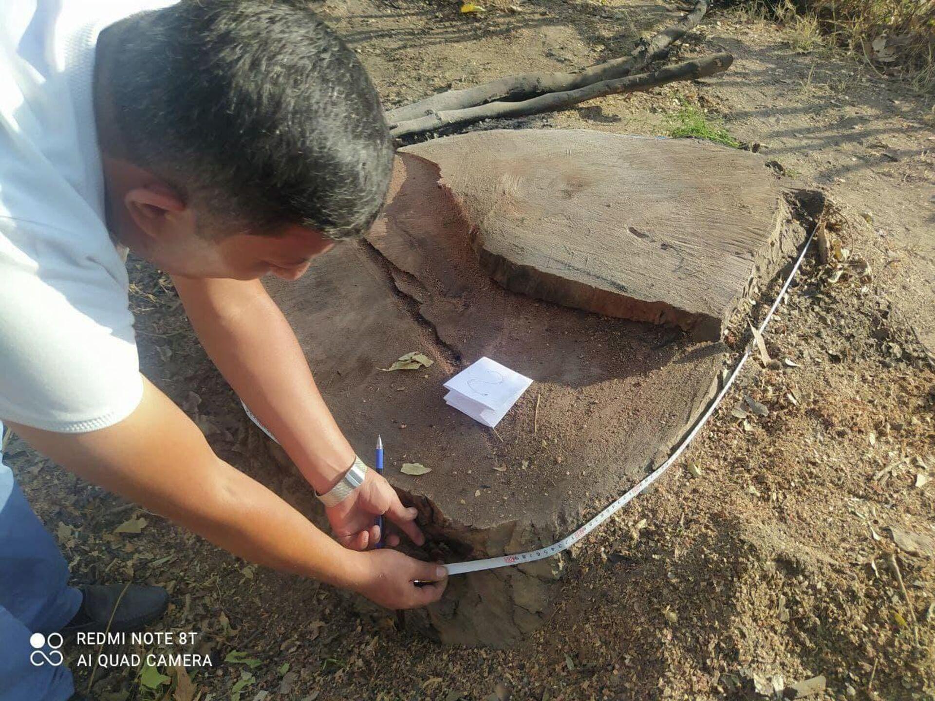 В Ташкентской области срубили многолетние чинары - Sputnik Узбекистан, 1920, 26.08.2021