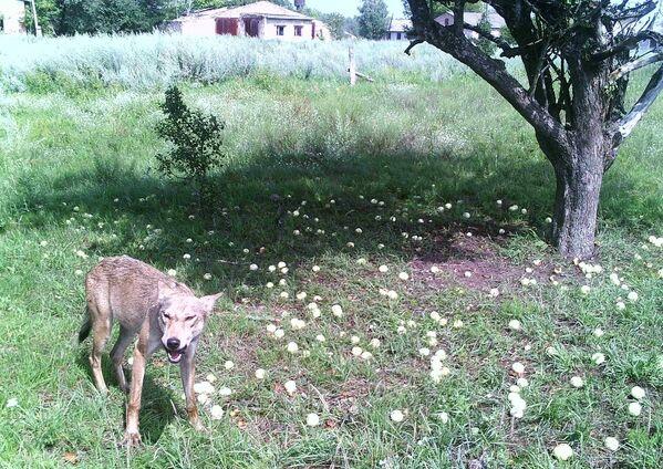 Волк в зоне отчуждения Чернобыльской АЭС - Sputnik Узбекистан