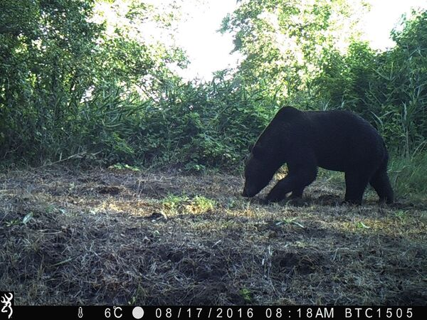 Бурый медведь в зоне отчуждения Чернобыльской АЭС  - Sputnik Узбекистан