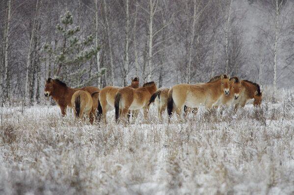 Дикие лошади в зоне отчуждения Чернобыльской АЭС  - Sputnik Узбекистан