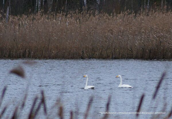 Лебеди в зоне отчуждения Чернобыльской АЭС  - Sputnik Узбекистан
