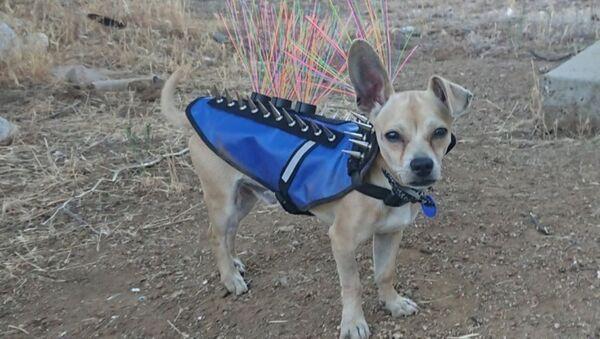 В США маленьким собакам приходится носить жилеты с шипами - Sputnik Ўзбекистон