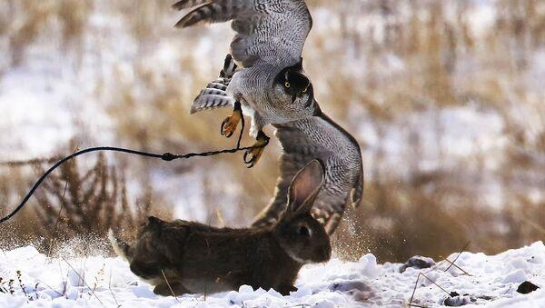 Чемпионат Азии по охоте с ловчими птицами в Алматы - Sputnik Ўзбекистон