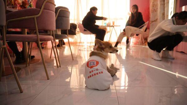 Как собаки работают официантами в одном из кафе Шанхая - Sputnik Ўзбекистон