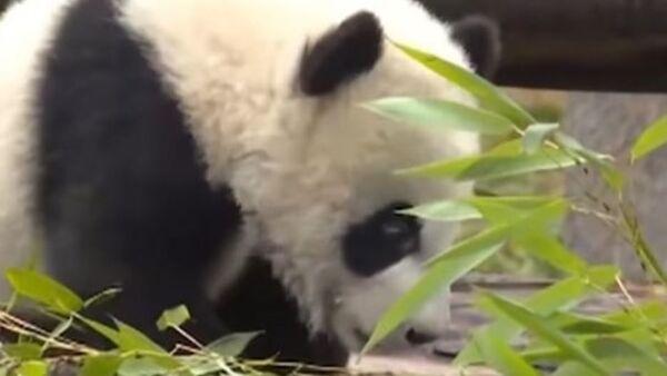 Панда в зоопарке Китая - Sputnik Ўзбекистон