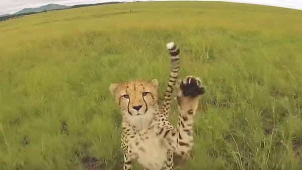 Дроны против тигров: захватывающее видео - дикие кошки устроили охоту на технику - Sputnik Узбекистан