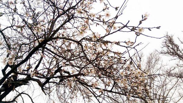 В Ташкенте зацвели абрикосовые деревья - Sputnik Ўзбекистон