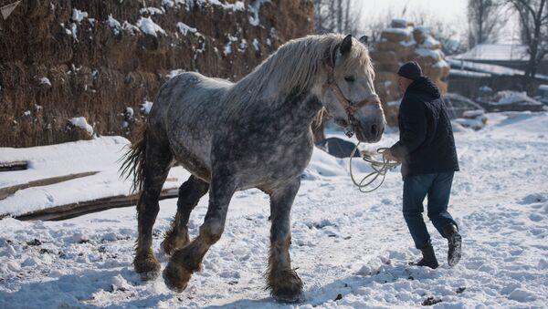 Под Бишкеком разводят огромных лошадей весом более тонны - Sputnik Ўзбекистон