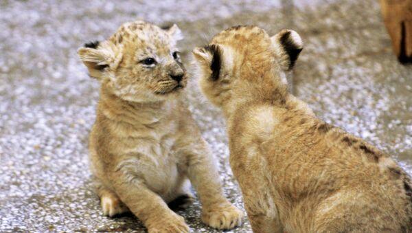 В Екатеринбургском зоопарке родились пятеро африканских львят - Sputnik Ўзбекистон