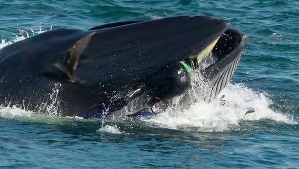 Fotograf ugodil v past gigantskomu kitu - Sputnik Oʻzbekiston