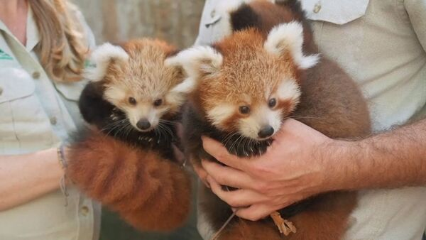 Трех детенышей красной панды показали публике в зоопарке Сиднея - Sputnik Ўзбекистон