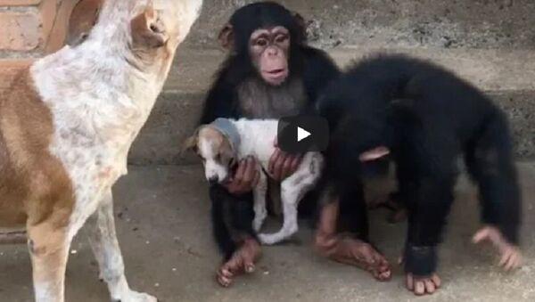 Шимпанзе излечили собаку в Либерии - трогательное видео - Sputnik Узбекистан