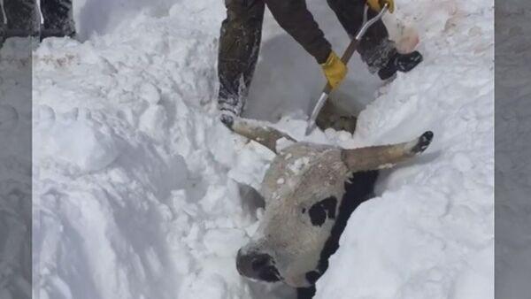 Fermer otkapыvayet korov iz-pod snega - Sputnik Oʻzbekiston