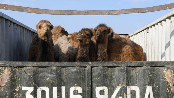 Верблюды в кузове грузовика - Sputnik Узбекистан